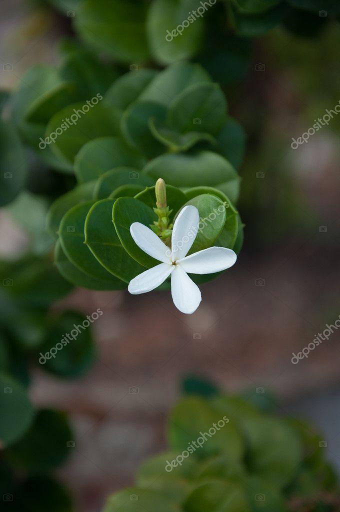 цветок карисса фото
