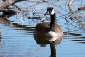Canadian Goose swimming — Stock Photo