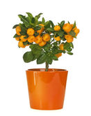 Calamondin — Stock Photo