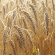 Wheat field — Stock Photo #11808216