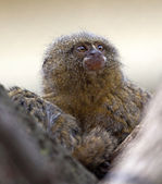 Pygmy marmoset or dwarf monkey — Stock Photo