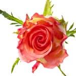 Single rose — Stock Photo #11082987