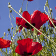 Poppy skies — Stock Photo