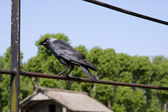 Crow alone — Stock Photo