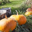 Pumpkins in a row — Stock Photo
