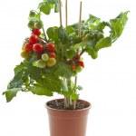 Sweet tomatoes — Stock Photo