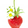 Wild flower strawberry - Lizenzfreies Foto