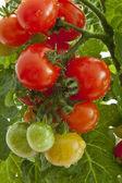 Cherry rajčata — Stock fotografie