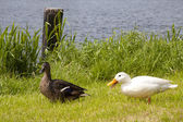 Pair of ducks — Stock Photo