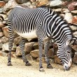 Eating zebra - Stock Photo