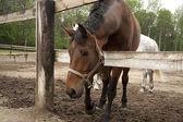 Hermosos caballos en una granja en la aldea — Foto de Stock