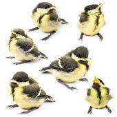 Fledgling birds tit — Stock Photo