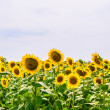 Field of blooming sunflowers — Foto de stock #12258187