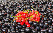 Background of the berries black and red currants — Stock Photo