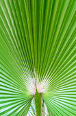 The background of palm leaf — Stock Photo