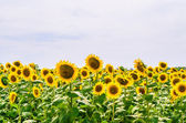 The field of blooming sunflowers — Stock Photo
