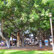 Banyan Tree of Lahaina — Stock Photo