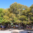 Banyan Tree of Lahaina - Stock Photo