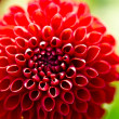 Pompon Dahlia — Stock Photo