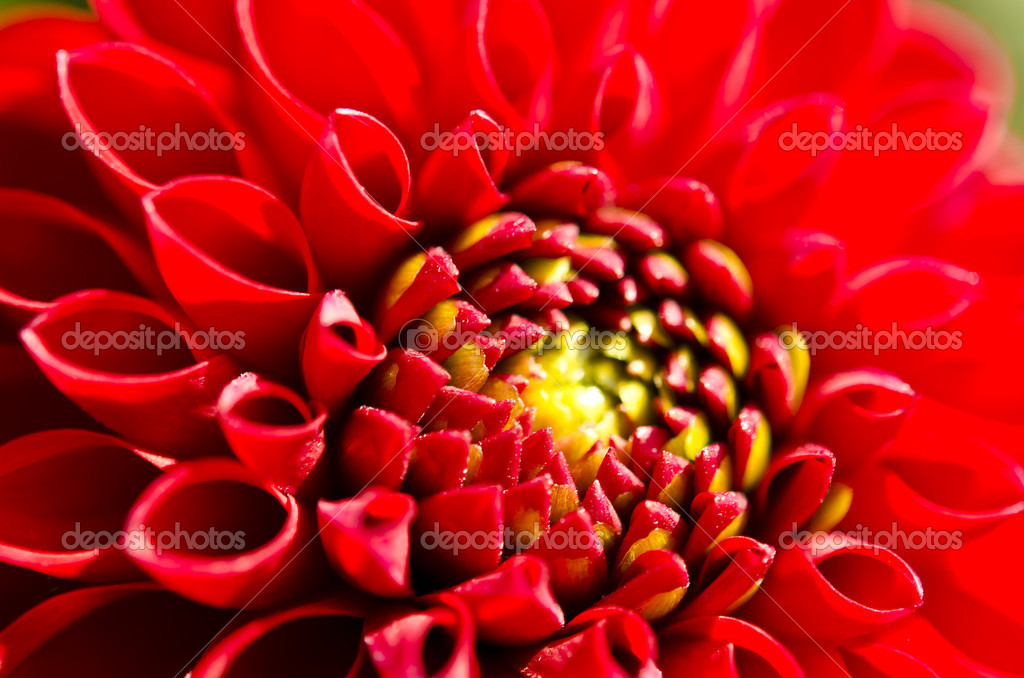 Pompon Dahlia — Stock Photo #12180602
