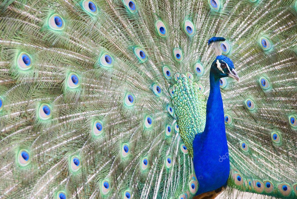 显示其多彩羽毛蓝孔雀