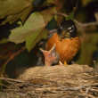 Stock Photo: Baby Birds Mother Robin Feeding Chick