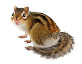 Chipmunk on white — Stock Photo