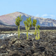 Stock Photo: Cactus growing on volcanic soil