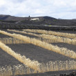 Field on volcanic soil with golden row of corn in Lanzarote - Foto Stock