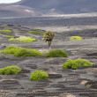 Palm tree in volcanic wineyard area La Geria in Lanzarote - Foto Stock