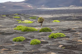 Palm tree in volcanic wineyard area La Geria in Lanzarote — Stock Photo