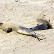 Sea lions rest at the beach — Stock Photo #11416855