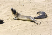 Sea lions rest at the beach — Stock Photo