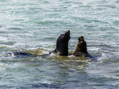Sea lions fight in the waves of the ocean — Stock Photo