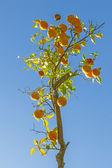 Naranja madura en el naranjo — Foto de Stock