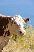 Cow grazing at the meadow on the cliffs of the shoreline — Stock Photo