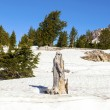 Stock Photo: Old dead tree in snow at Lassen national park