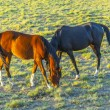 Horses grazing on the meadow - Stock Photo