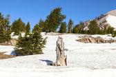Viejo árbol muerto en la nieve en el parque nacional lassen — Foto de Stock