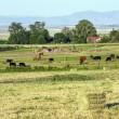 Cows grazing at the meadow with green grass — ストック写真