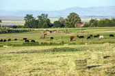 Cows grazing at the meadow with green grass — Stok fotoğraf