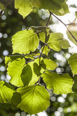 Green birch leaves at the tree — Stock Photo