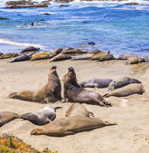 Sealions at the beach — Stock Photo