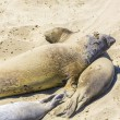 Sealions relax and sleep at the sandy beach - Stock Photo