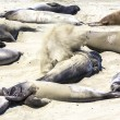 Sealions relax at the beach — Stock Photo