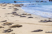 Sealions relax and sleep at the sandy beach — Foto de Stock