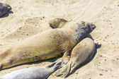 Sealions relax and sleep at the sandy beach — Stok fotoğraf