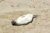 Sealion relaxes and sleeps at the sandy beach — Stok fotoğraf