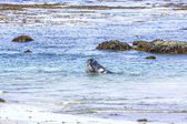 Sealions fighting in the ocean — Stock Photo