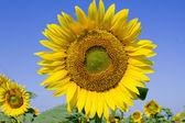 Yellow sunflower field — Stock Photo
